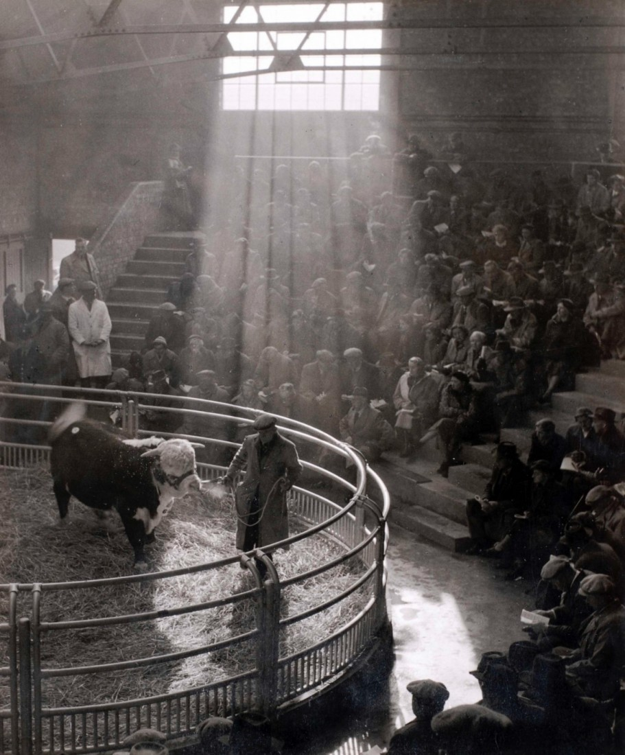 Hereford Bull in the old and atmospheric Livestock Market