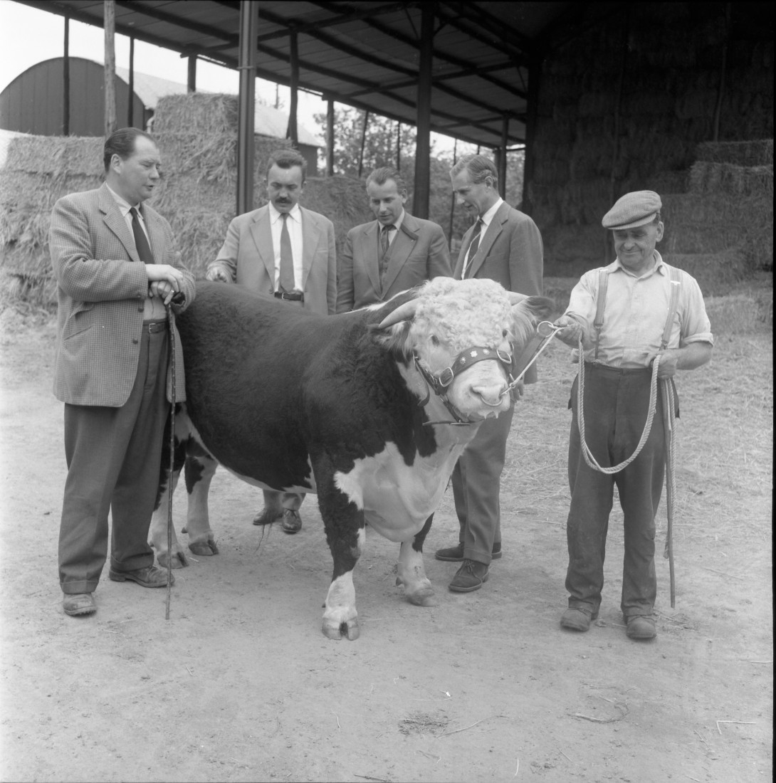 Polish Buyers with a Hereford Bull