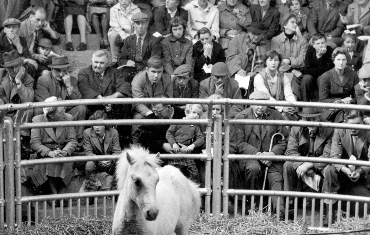 Small white Welsh Pony at the Livestock Market