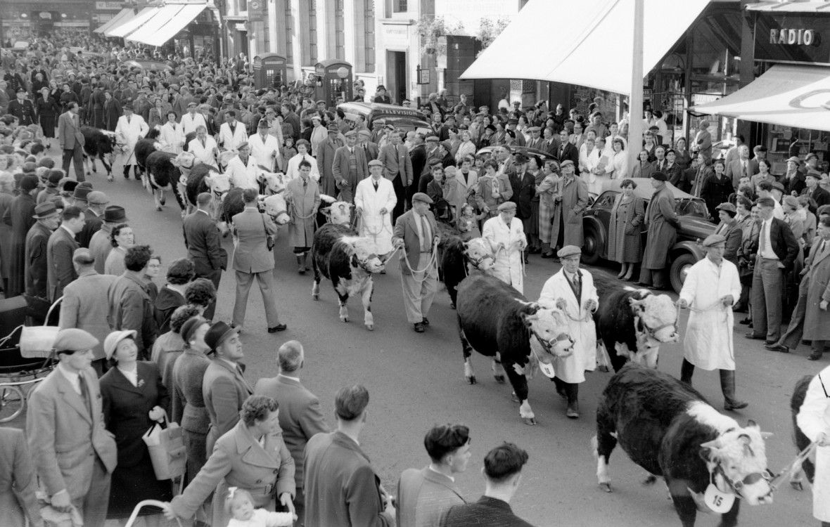 Hereford Cattle are paraded through town