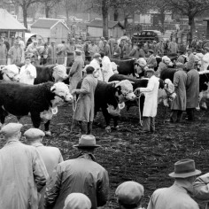 Annual bull show and sale in Hereford